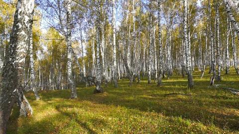 walking in the autumn birch forest Footage