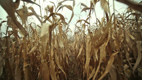 Through corn fields Footage