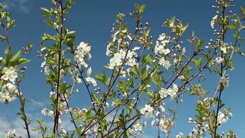 White flowers on sakura branches Footage