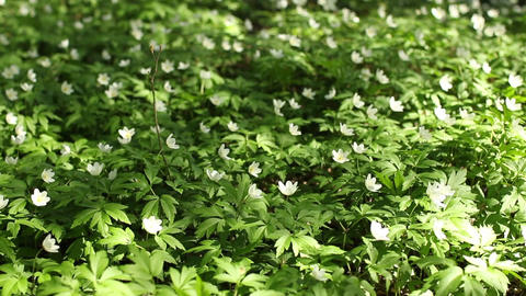 White flowers wood anemone Spring primroses Tremble in the wind Footage