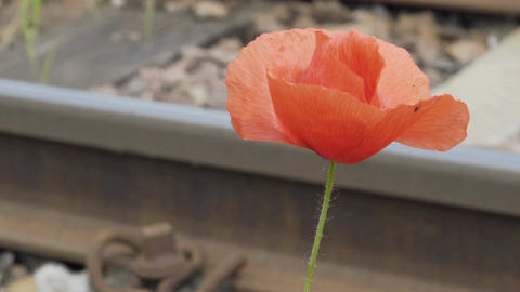 Nature Pull Focus Dainty Poppy Flower to Train Track Rail Footage