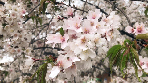 HD Cherry blossom close-up shot Live Action