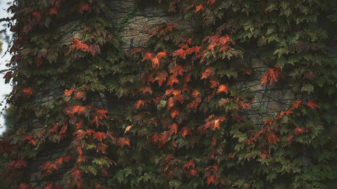 Ivy leaves on brick wall, autumn season, sadness and melancholy, loneliness Live Action