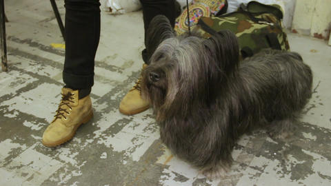 Loving master petting cute Skye Terrier at dog show, man and animal friendship Footage