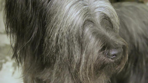 Hairy muzzle of cute Skye Terrier dog looking around, pet grooming services Footage