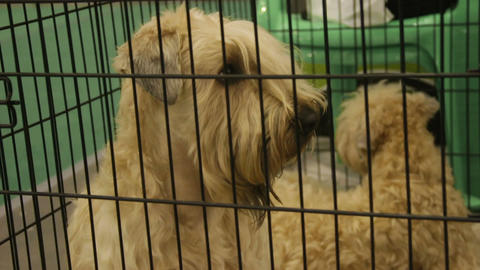 Cute fluffy Soft-Coated Wheaten Terrier puppies sitting in cage at pet kennel Footage