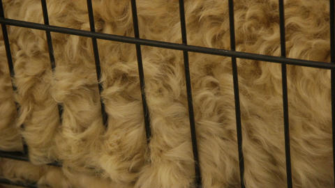 Hairy animal in cage, natural sheep wool for making clothes, grooming services Footage