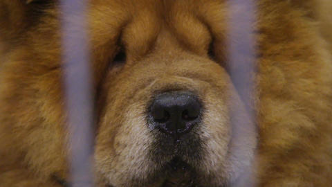 Chow Chow dog muzzle close-up, proud animal kept in captivity at pet shelter Live Action