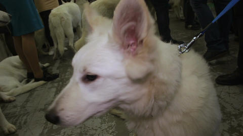 Purebred White Shepherd on leash, ready for dog agility show, canine exhibition Footage