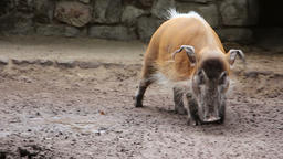 Bearded pig in the dirt Footage