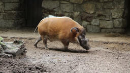 Bearded pig walk in cycles Footage