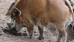 Bearded pig Footage