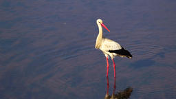 White stork walk in river Footage