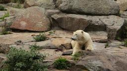 Big white bear Footage