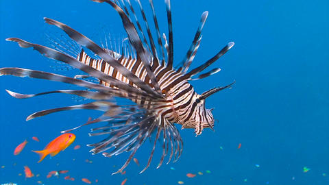Lionfish, gracefully floating over a coral reef GIF