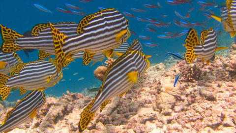 Sweetlips fish Live Action