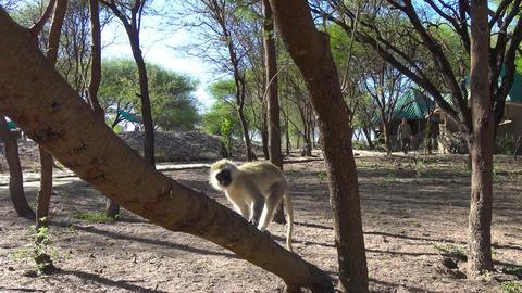 Vervet monkeys. Safari - journey through the African Savannah. Tanzania Footage