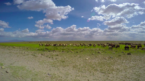 The herd animals the Masai tribe Footage