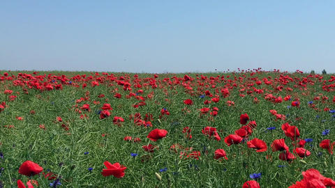 Field with red poppies and blue wildflowers Footage