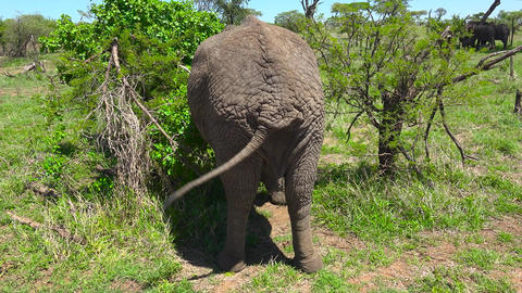 African elephant. Safari - journey through the African Savannah. Tanzania Footage