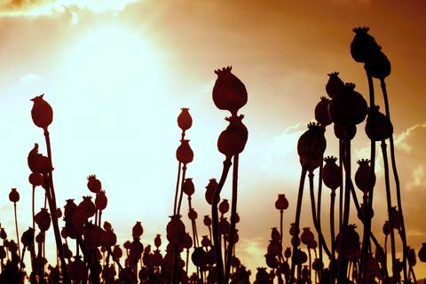 Long dry stalk of poppy seed. Evening field of poppy heads with sun at horizon Photo