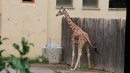 Female Giraffe Urinate Footage
