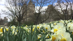 Flowers bloom on Central Park Footage