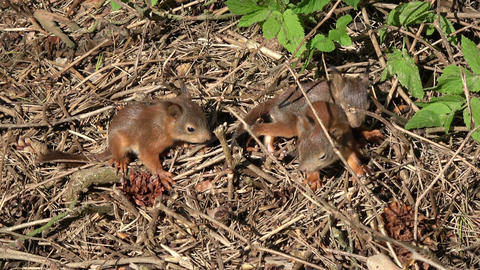 Three young red squirrels playing on forest ground Footage