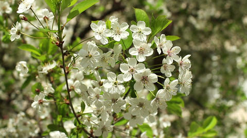 Blooming cherry orchard white flowers Footage