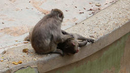Monkeys express affection by grooming each other Live Action