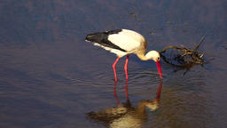 White stork fishing in river Footage