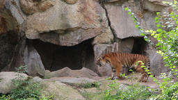 Siberian tiger enter his stone cave Stock Video Footage