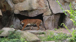 Siberian tiger enter his stone cave Footage