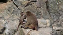 Small monkeys Footage