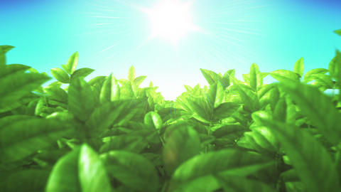 Beautiful Green Lush Leaves in the Field. Moving through. Sun Shining. Looped 3d Footage