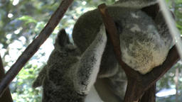 two koalas Footage