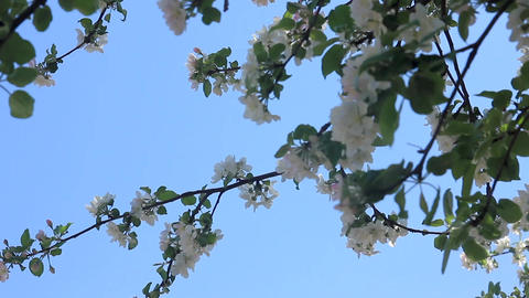 Flowering apple tree branches Footage