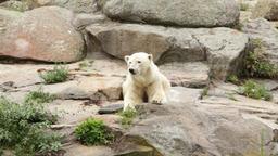 Wild white bear Footage