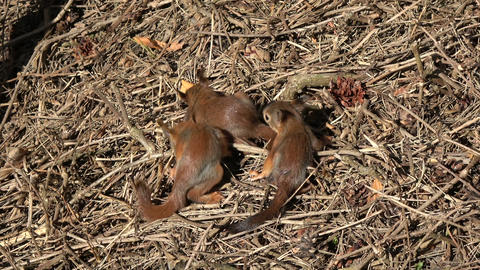 Young friendly red squirrels group playing in park on ground Live Action