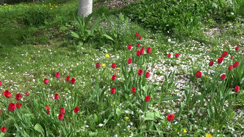 Beautiful white petals rain falling on red tulips from apple tree Footage