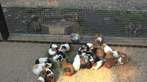 guinea pigs on sand eating food from bowls in zoo Footage