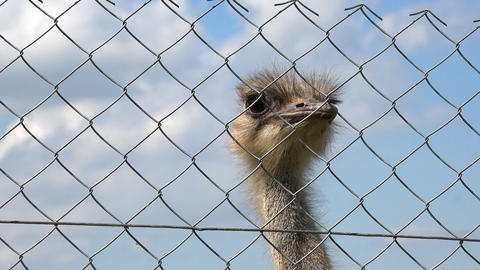 common ostrich animal head behind zoo fence on cloudy sky background Footage