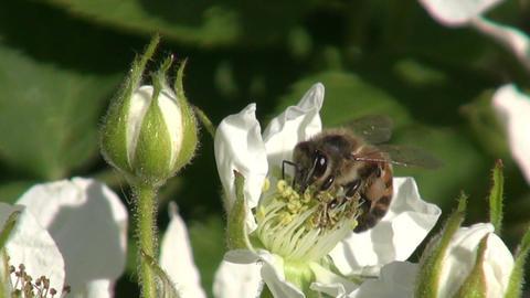 Flowering blackberry with bee Footage