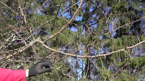 Man with black gloves pruning apple tree Footage