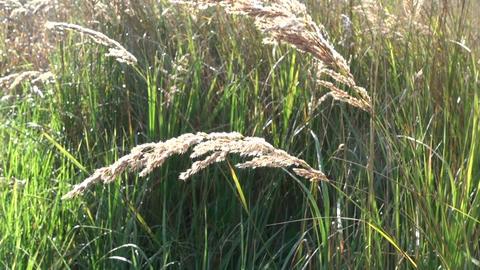 Wisp grass waving in wind on autumn day Footage