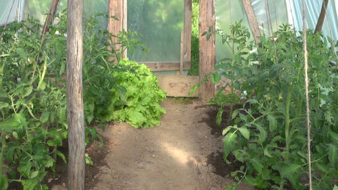 Lettuce and young tomatoes growing in greenhouse Footage