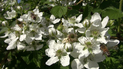 Flowering blackberry with bees pollinating Footage