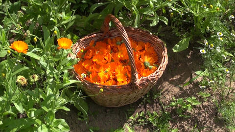 Freshly collected calendula marigold blossoms in wicker basket Footage
