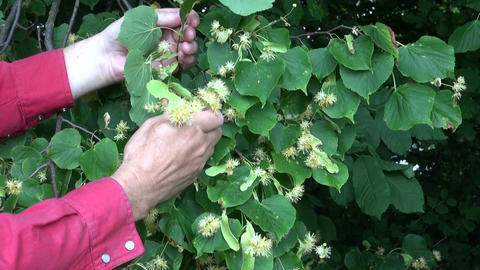 Man picking linden tree blossoms Footage