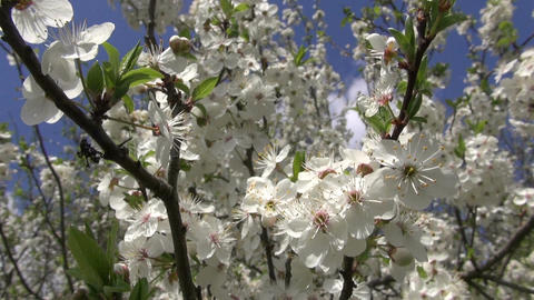 Plum tree blossoming on spring day Footage